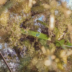 Harvesting of olives from ancient trees in Ostuni