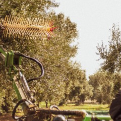 Manual picking or with combs of the olives