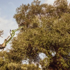 Guided tours in the olive groves of Puglia