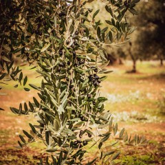 Centuries-old olive groves of Puglia