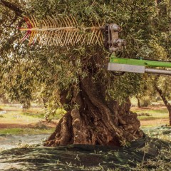 The olive harvest in the olive groves of Puglia