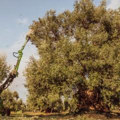 The olive harvest season in Puglia