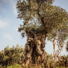 The millenary olive trees of Puglia