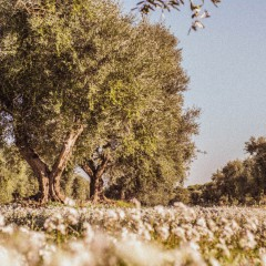 The olive groves of Puglia