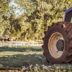 Tradition and innovation: the olive harvest